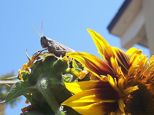 Sunflowerdude