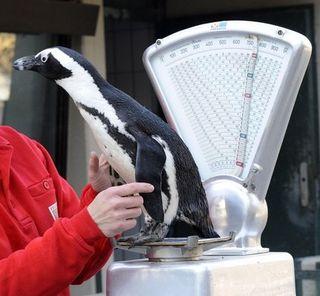 Penguinonscale