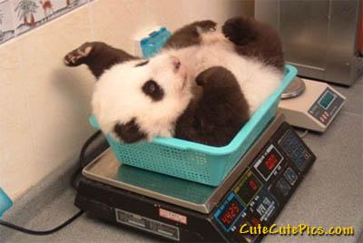 Cute-baby-panda