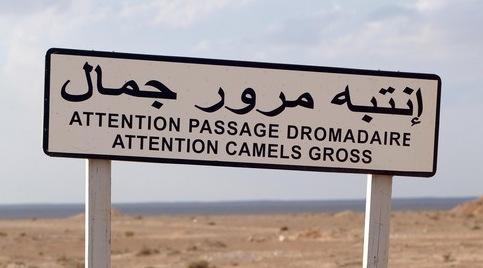 CamelsGross(MeganBnotherpicture)