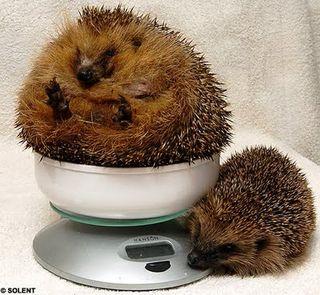 Hedgehog fat 1