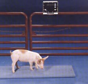 Piggyonscale